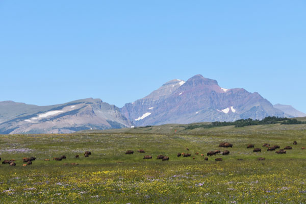 Bison graze near East Glacier in Glacier National Park, Montana