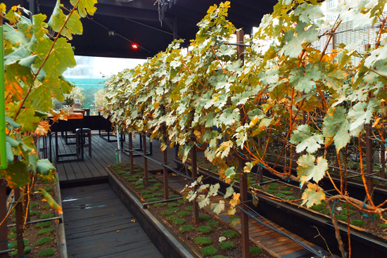 Wine vines at Vinicola Urbana rooftop winery in Mexico City