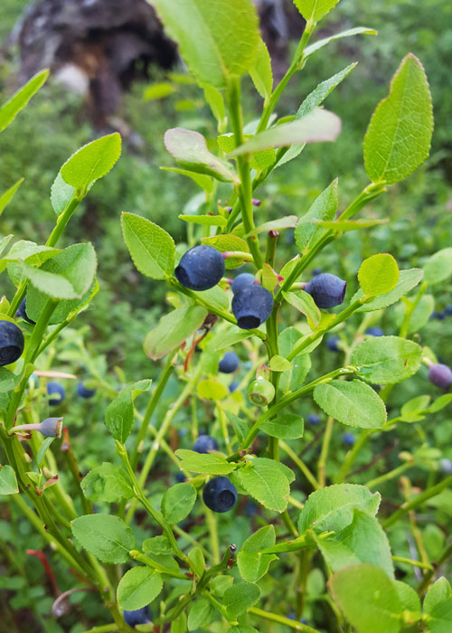Wild blueberries, or bilberries, outside Stockholm, Sweden, where foraging is encouraged.
